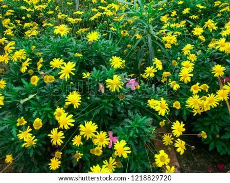 Range of Yellow cosmos or sulfur cosmos (Cosmos sulphureus ) flower bush.