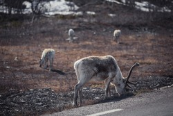 Rangifer tarandus or commonly known as reindeer walking by a road in Lapland, Sweden