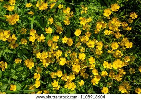Ranunculus acris - meadow buttercup, tall buttercup, common buttercup, giant buttercup. Natute background