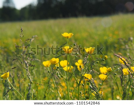 Ranunculus acris - meadow buttercup, tall buttercup, common buttercup, giant buttercup. Photo taken in Poland, Europe.
