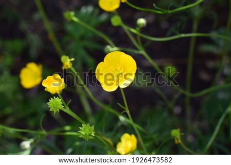 Ranunculus acris (meadow buttercup, tall buttercup, giant buttercup). Close up of a Common Buttercup yellow flowers on green grass background. Selective focus, blurred background. stock photo