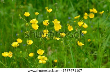 Ranunculus acris or buttercups. Common names include meadow buttercup, tall buttercup, common buttercup and giant buttercup.