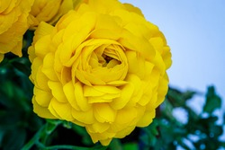 Ranunculus asiaticus or Persian buttercup gold color flower, close up macro. Beautiful Easter yellow blossom background. Trendy yellow color