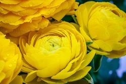 Ranunculus asiaticus or Persian buttercup gold color flower, close up macro. Easter yellow blossom background. Trendy yellow color