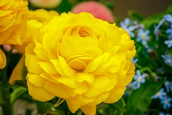 Ranunculus asiaticus or Persian buttercup gold color flower, close up macro. Easter yellow blossom background. Trendy Yellow Illuminating color