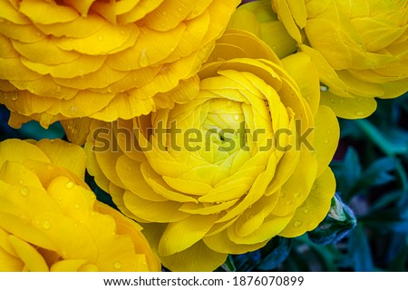 Ranunculus asiaticus or Persian buttercup gold color flower, close up macro. Easter yellow blossom background. Trendy Illuminating yellow color 2021 year Foto stock ©