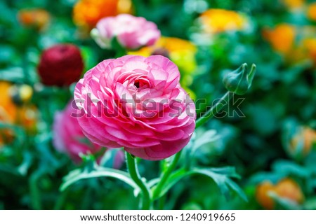 Ranunculus asiaticus or Persian buttercup Pink flower. Ranunculus is good spring choice for borders, pots and containers #1240919665
