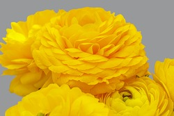 Ranunculus asiaticus or yellow Persian buttercup  flowers, easter background