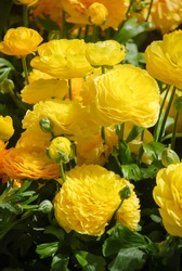 Ranunculus flora. A blossomed yellow flower with detailed petals shot, potted plant