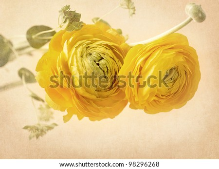 Ranunculus flowers on yellow background - stock photo