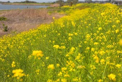 Rape blossoms blooming on the riverbed of the river