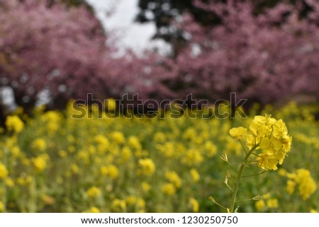 Rape blossoms with cherry blossoms