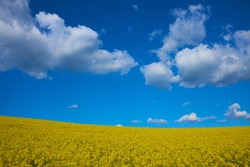 Rape flower field against blue sky with a nice cloudscape. Spring landscape, vivid blue and yellow colors for backgrounds