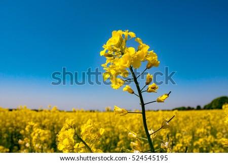 Rape meadow under blue sky #524545195