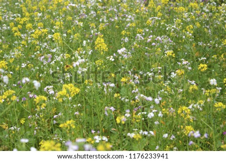 Rapeseed, an ecological fertilizer. The concept of farming and agriculture. Safe food. Ecology and health. #1176233941
