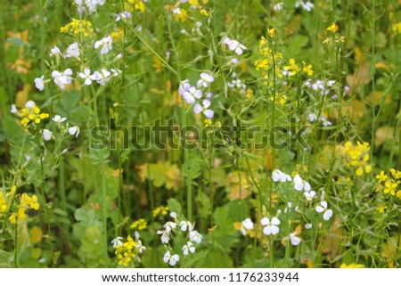 Rapeseed, an ecological fertilizer. The concept of farming and agriculture. Safe food. Ecology and health. #1176233944