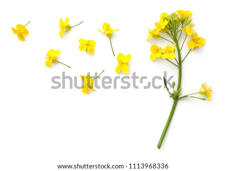 Rapeseed blossom isolated on white background. Brassica napus flowers. Top view