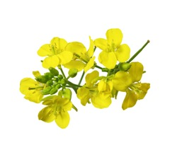 Rapeseed blossoms , Brassica napus flower isolated on white background