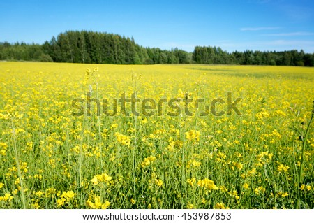 Stock Photo Rapeseed (Brassica napus), also known as rape, oilseed rape, rapa, rappi, rapaseed. Field of bright yellow rapeseed in summer. Finland