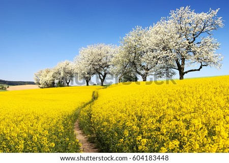 Rapeseed, canola or colza field with parhway and alley of flowering cherry trees - Brassica Napus - rape seed is plant for green energy and oil industry - spring time view                   #604183448