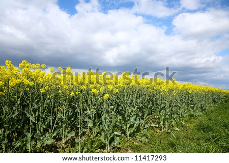 Rapeseed crop growing under a cloudy sky.