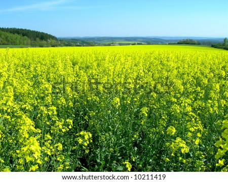 Rapeseed field and blue sky in the country