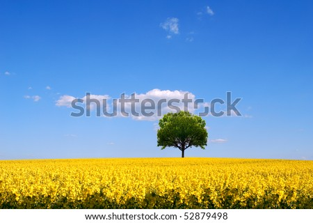 Rapeseed field and lone tree landscape