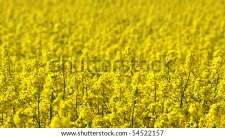 Rapeseed field as background