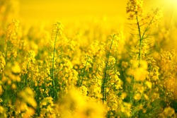 Rapeseed field, Blooming canola flowers close up. Rape on the field in summer. Bright Yellow rapeseed oil. Flowering rapeseed