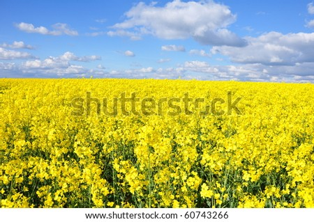 Rapeseed field in England