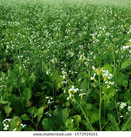rapeseed field in Moc Chau, Viet Nam Zdjęcia stock ©