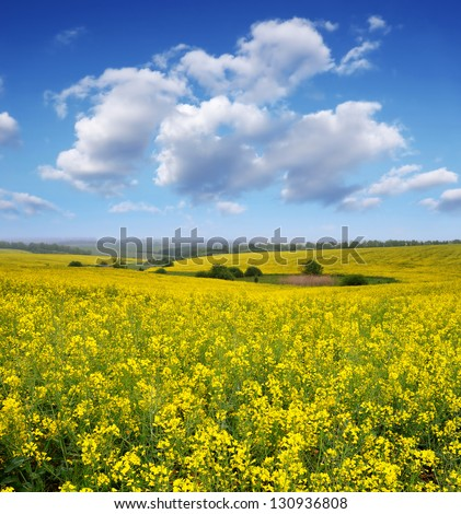 Rapeseed field in the afternoon. Yellow flowers and blue sky with clouds