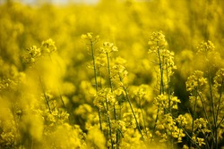 Rapeseed field in Ukraine is summer