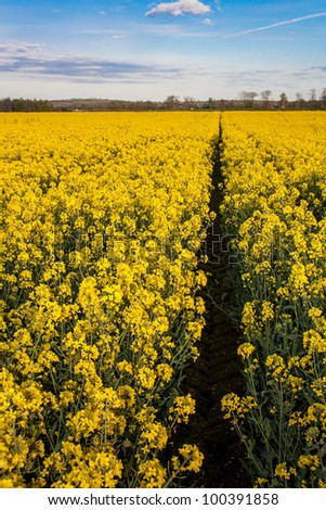 Rapeseed field with canola crops on blue sky - stock photo