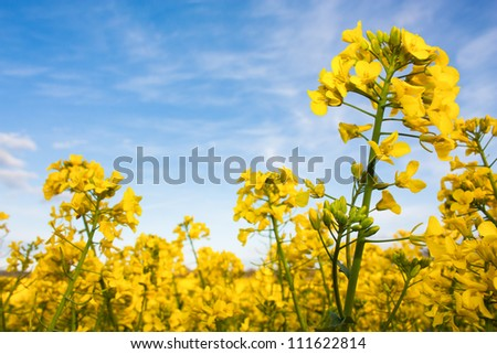 Rapeseed field with yellow canola crops against a blue sky
