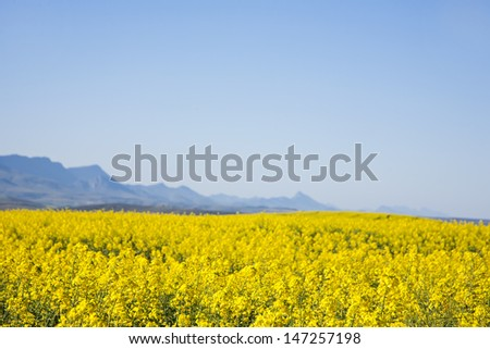 Rapeseed fields along the Garden Route, N2, South Africa. Rapeseed is used to produce canola oil.