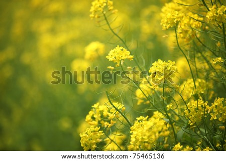 rapeseed flowers in blossom