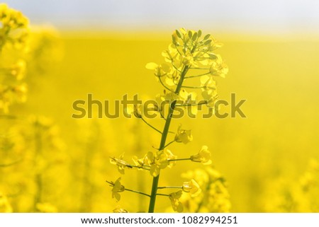 Rapeseed Flowers in rapeseed field. Blooming canola flowers.