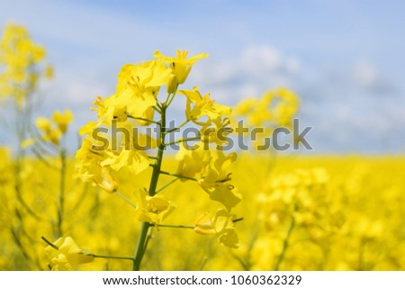 Rapeseed in spring - Shutterstock ID 1060362329