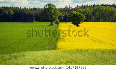 Rapeseed oil field and wheat field