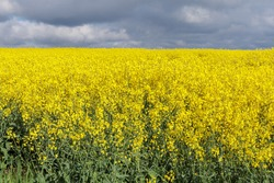 Rapeseed or canola field with dark clouds. Rapeseed is one of the most important sources of vegetable oil.