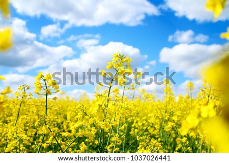rapeseed, rapeseed field, field with rape, blossoming field - Shutterstock ID 1037026441