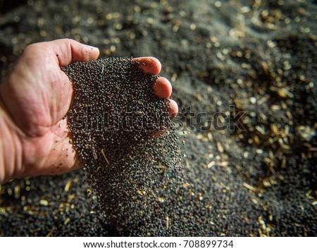 Rapeseed seeds in farmer's hand, freshly harvested #708899734
