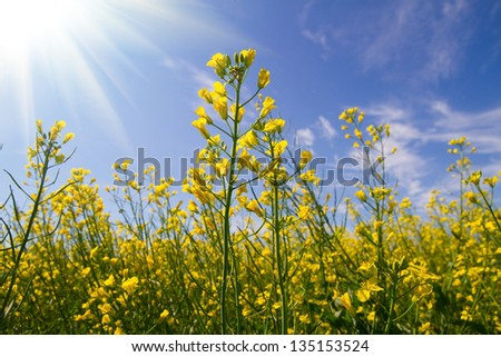 Rapeseed yellow flowers and sun