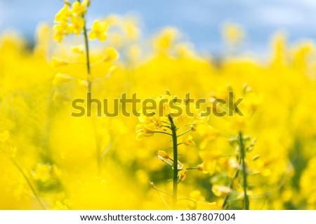 Raps field, rapeseed field, canola field, raps flowers close up. Selective focus, blurry background.