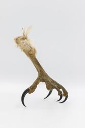 Raptor talon on a white background.