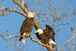 raptors; bald eagle; bird migration