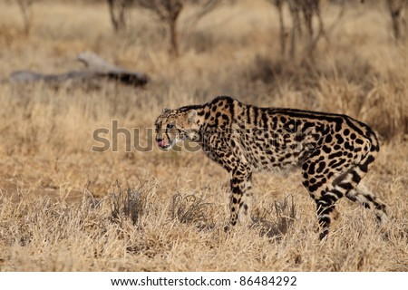 Rare African King Cheetah
