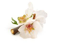 Rare Almond Flower of