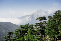 Rare and endangered Lebanese Cedar tree forest at Tahtali mountain in Turkey